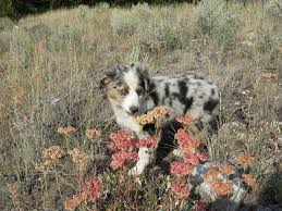 3 4 australian shepherd 1 4 blue heeler stonger miniature and standard aussies miniature and standard