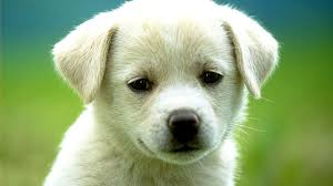 desktop hd images of puppy dogs
