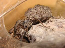 wolf spiders 6legs2many