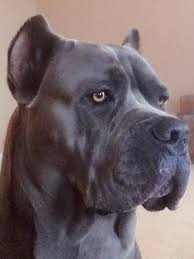 american pitbull terrier yavru 330 best cani corso images on pinterest cane corso animals and