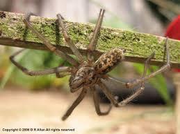European House Debs Web Greater European House Spider Tegenaria Gigantea T