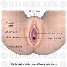 Female Sexual Anatomy Pictures Alila Medical Media Female Reproductive System Images