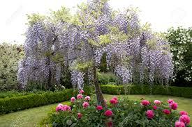 garden design garden design with gloryus garden wisteria fun