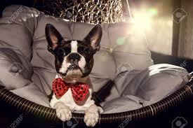 Boston Terrier Flag Funny Boston Terrier Images U0026 Stock Pictures Royalty Free Funny