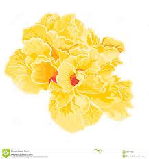 Yellow Hibiscus Flowers - yellow hibiscus full of flowers royalty free stock photo image