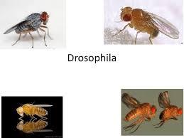 drosophila ppt