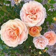 beautiful sunday roses u2014 lady brisbane