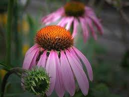 Echinacea Flower Echinacea Tag Wallpapers Nature Cone Flower Echinacea Pink Bud