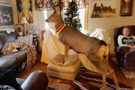 kansas family s pet deer shot by game warden kansas family horrified after game warden shoots pet deer in front of them she was part of the family