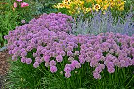 year of edible and ornamental alliums hoosier gardener