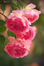 Rose Flower Images 681 Best Flowers Pink Roses Images On Pinterest Pink Roses