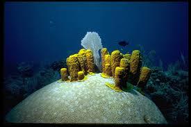 Azure Vase Sponge Facts Phylum Porifera Aplysina Fistularis