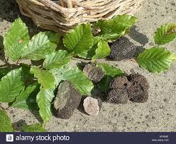 summer truffle tuber aestivum with beech leaves stock photo