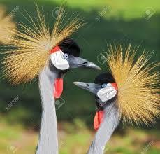 african grey crowned crane balearica regulorum stock photo