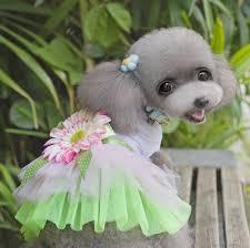 poodle y bichon frise perro mascota de peluche perrito princesa dress bichon frise