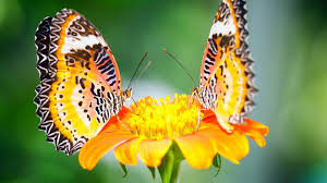 butterflies on flowers images clipart