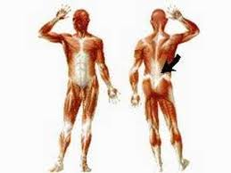 Human Body Muscles Images How The Body Works Skeletal Muscles Youtube