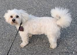 shichon haircuts zuchon shichon dog breed information and pictures