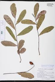 russian native plants geobalanus oblongifolius species page isb atlas of florida plants
