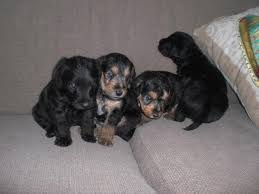bedlington terrier guard dog bedlington terrier cross lakeland terrier puppies for sale for