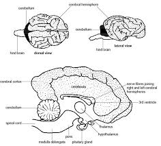 The Anatomy And Physiology Of The Eye Anatomy And Physiology Of Animals Nervous System Wikibooks Open