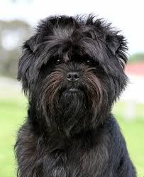 affenpinscher white top 10 weirdest dog breeds the cozy pet blog