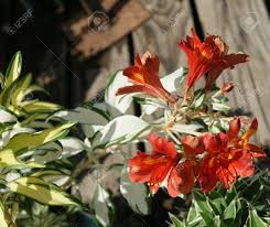 alstroemeria rock and roll herbaceous ornamental with attractive