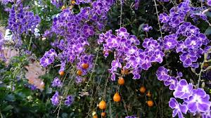 Tree With Purple Flowers Duranta Erecta Blue Purple Flowers And Orange Berry Geisha