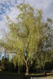 weeping willow trees fast growing shade trees for the desert