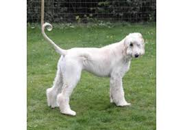 afghan hound rescue england afghan hound puppy for sale family pet puppies for sale near me