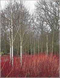 dogwood and silver birch birch gardens and planting