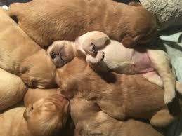 Comfort Retriever Puppies For Sale Golden Retriever Puppies And Dogs For Sale In Seattle Wa Usa