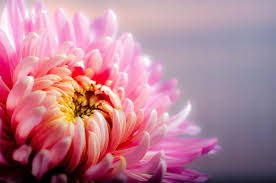 June Flowers - birth month flowers and meanings what is your birth flower