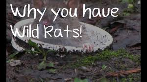 why you have wild rats in your garden gambian pouched rat youtube