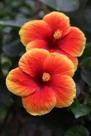 best 25 hibiscus ideas on pinterest hibiscus flowers beautiful