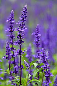 salvia flower salvia farinacea purple perennials salvia and perennials
