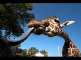imagenes de amistad jirafas 11 best proyecto jirafas images on pinterest giraffes wild