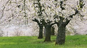trees wallpaper qygjxz
