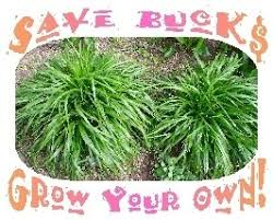 make your own plugs of ornamental grasses with winter sowing
