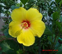 Yellow Hibiscus Flowers - august 2014 the daily hibiscus
