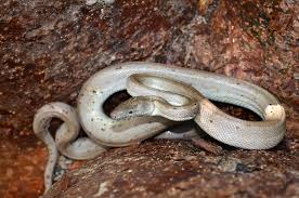 new species of silver snake is extremely endangered