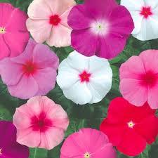 vinca flowers vinca flowers sunstorm mix annual flower seeds annuals