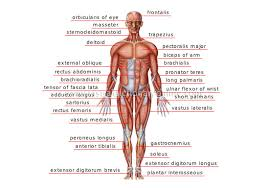 Picture Of Anatomical Position Anatomical Positions Of Internal Organs Human Anatomy Chart