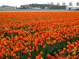 Tulip Field Orange Tulip Field Stock Photo Picture And Royalty Free Image