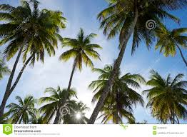sun sets through coconut palm trees grove stock photo image
