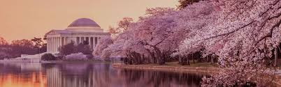 cherry blossom tree facts 9 facts about washington dc s cherry blossoms washington dc big