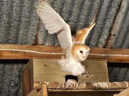 Barn Owls Habitat Barn Owl Facts All You Need To Know About Barn Owls