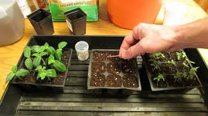 for new gardeners how to start plant tomato seeds indoors for
