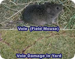 How Do You Get Rid Of Skunks In Your Backyard How To Get Rid Of Voles Field Mice