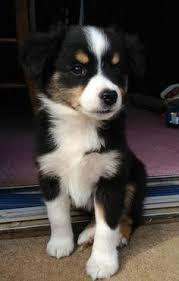 triple r australian shepherds toy australian shepherd aussie wiggle best doggies in